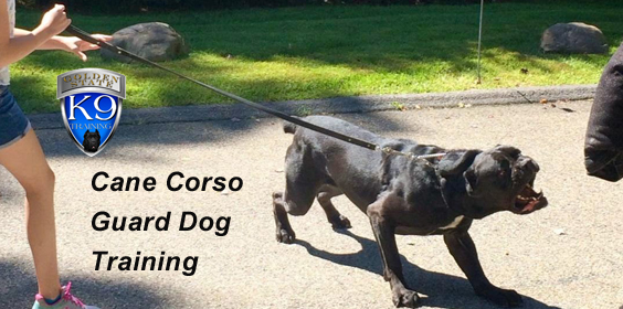 Cane Corso Guard Dog Training